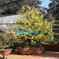 Dịch vụ mua bán chăm sóc cho thuê cây mai vàng bonsai dáng độc nhất miền Nam