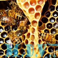 Bí thuật chọn mật Ong nuôi Rừng cực kỳ thành công