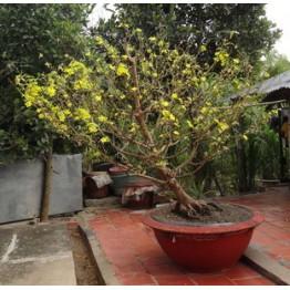 Nhà vườn - nghệ nhân - tạo dáng cây cảnh - mai vàng  bonsai